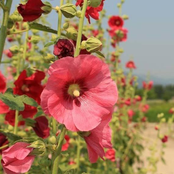 Partageons du bonheur en plantant des Roses Éternelles